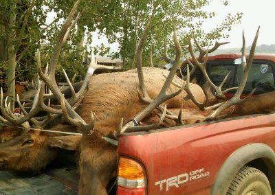 Elk in back of truck