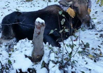 Hunter in the snow with a moose