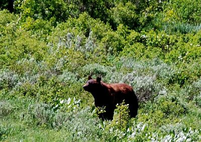Bear in a field at Wolf Mountain Ranch